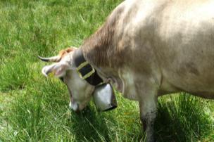 Allgaeuer Kuh mit Schelle auf einer Almwiese.