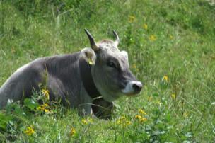 Allgaeuer Braunvieh auf der Weide.